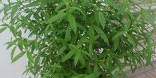 Citronverbena-450