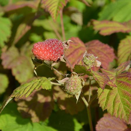 Loganbærbusk fra Naturplanteskolen