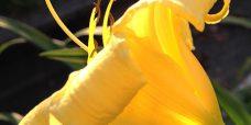 Daglilje-Hemerocallis-lilioaspodelus-6-450
