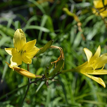 Gul-daglilje-Hemerocallis-citrina-2-450