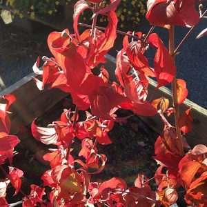 Kirsebærkornel fra Naturplanteskolen