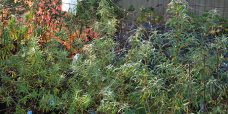 Havtorn–flere-sorter-450