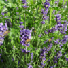 Lavendel 'Hidcote Blue' fra Naturplanteskolen