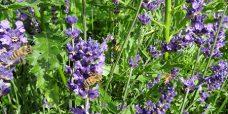 Lavendel-Hidcote-Blue-450