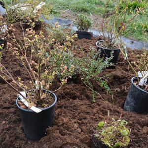 Blåbærbusk fra Naturplanteskolen