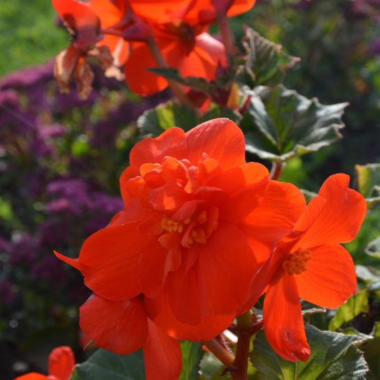 Begonia x tuberhybrida Knoldbegonie