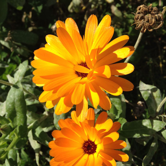 Calendula officinalis – Morgenfrue