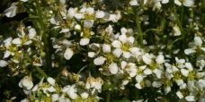 Coclearia officinalis Laege-kokleare, blomster2