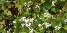 Fagopyrum esculentum Almindelig boghvede