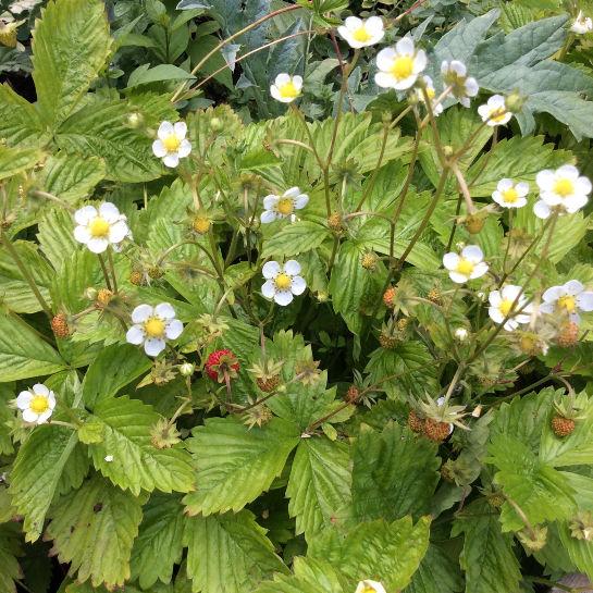 Fragaria vesca Immerbær (tue-dannende)