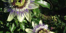 Passiflora caerulea Almindelig passionsblomst