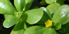 Portulaca oleracea Haveportulak