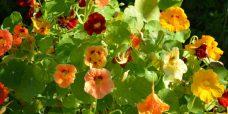 Tropaeolum majus Tallerkensmaekker ELLER Blomsterkarse