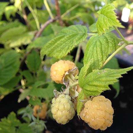 Gul hindbær 'Sugana' fra Naturplanteskolen