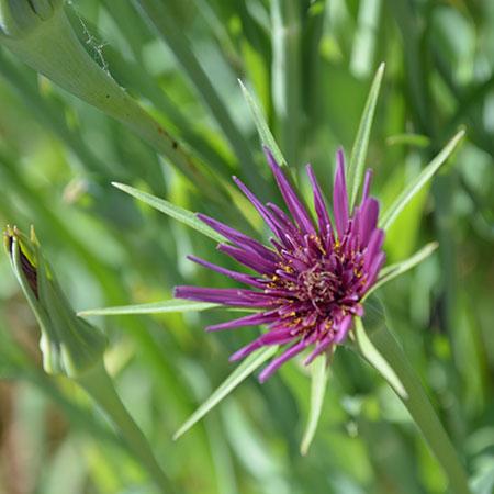Havrerod-blomst-450