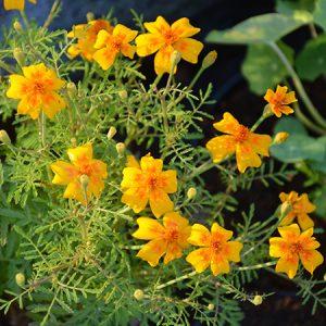 Appelsintagestes - planteportræt