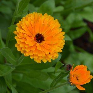 Morgenfrue - planteportræt