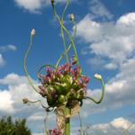Allium Babington Porreløg 'Green Drops' - Naturplanteskolen