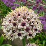 Allium 'Silver Spring' - Naturplanteskolen