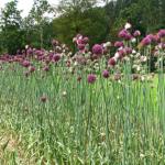 Allium Babington Porreløg 'Pink Lady' - Naturplanteskolen