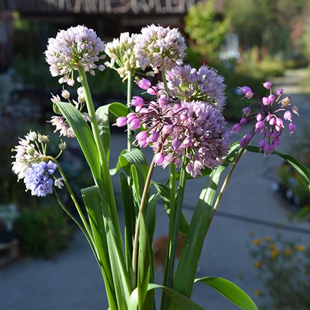 Allium - løgbutik