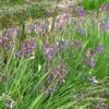 Allium macranthym - Naturplanteskolen