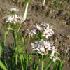Allium plummerae - Naturplanteskolen