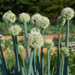 Allium, Gigant-pibeløg