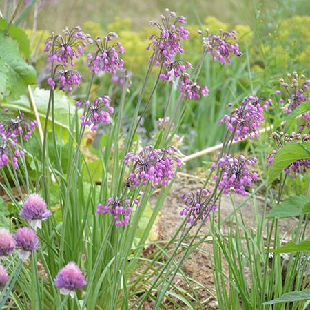 Allium, Prærieløg 'Purple King'