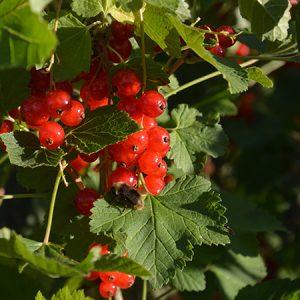Frugt- og bærweekend (Event) @ Naturplanteskolen | Hedehusene | Danmark
