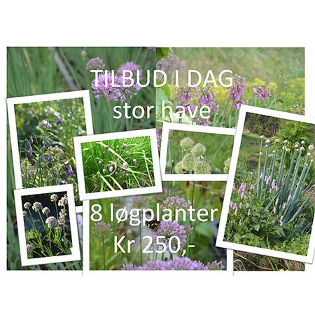 Allium -Tilbudspakke