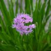 Allium hybrid 'Millineum'