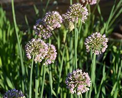 Allium nutans 'Esmee'