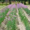 Allium 'Isabelle' og 'Caroline'