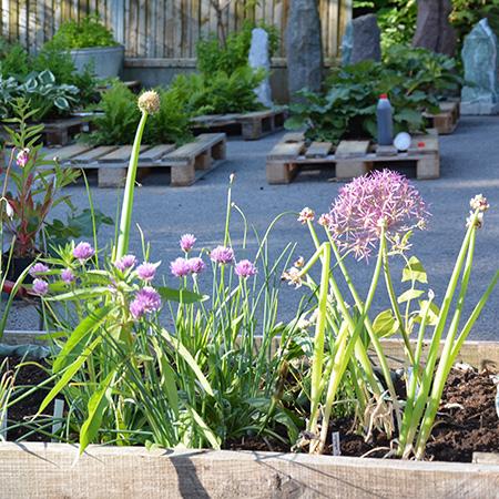 Alliumbed på Naturplanteskolen