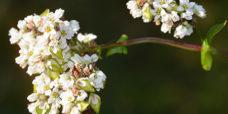 Boghvede-blomst-450