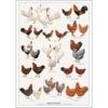 Plakat med øko høns