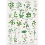 Plakat med spiselige vilde planter