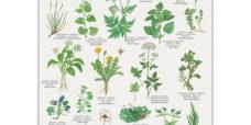 Spiselige-vilde-planter-plakat-koustrup-450