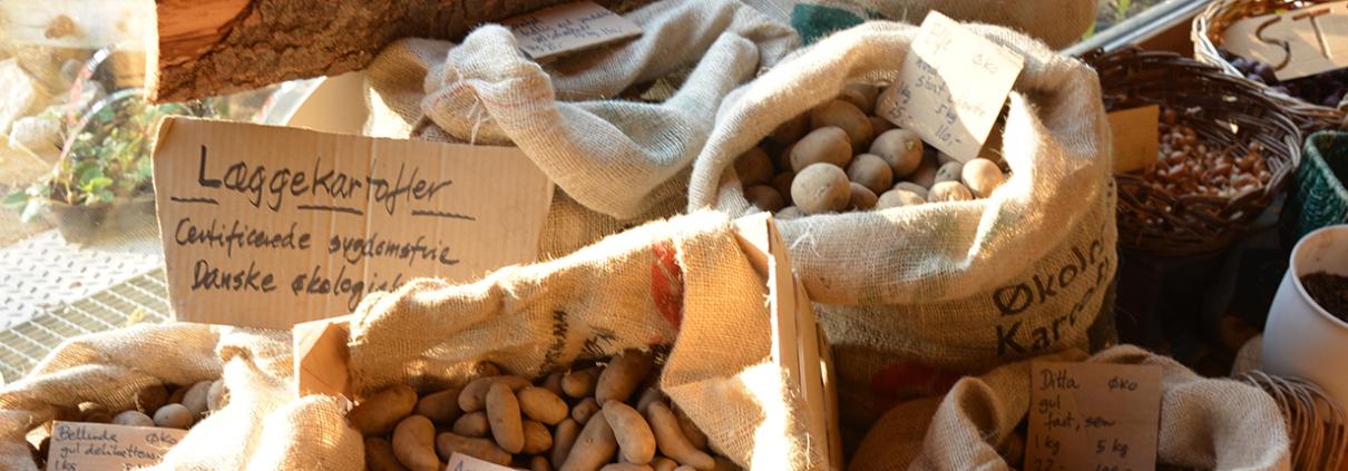 Økologiske kartofler fra Naturplanteskolen
