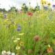 Blomstermarksfrø En- og flerårige fra Naturplanteskolen