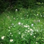 Vildengfrøblanding uden græs fra Naturplanteskolen