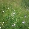 Vildengfrø med græs fra Naturplanteskolen