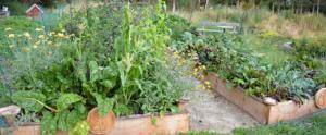 Flerårige grøntsager på Naturplanteskolen